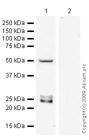 Western blot - Anti-mtTFA antibody (ab47517)