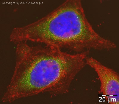 Immunocytochemistry/ Immunofluorescence - Anti-mtTFA antibody (ab47517)