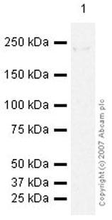 Western blot - Anti-eIF4G1 antibody (ab47625)