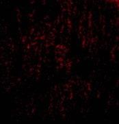 Immunocytochemistry/ Immunofluorescence - Anti-TANK/TRAF2 antibody (ab47632)