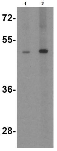 Western blot - Anti-TANK/TRAF2 antibody (ab47632)