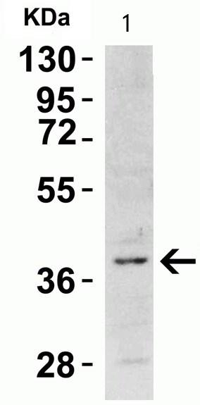 Western blot - Anti-TIM 1 antibody (ab47635)