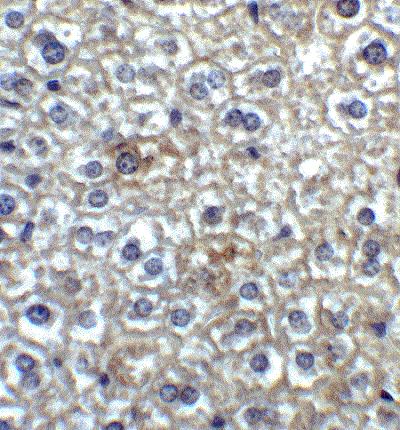 Immunohistochemistry (Formalin/PFA-fixed paraffin-embedded sections) - Anti-TIM 4 antibody (ab47637)