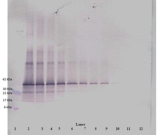 Western blot - Biotin Anti-Follistatin antibody (ab47942)