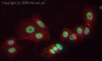 Immunocytochemistry/ Immunofluorescence - Anti-COBRA1 antibody (ab48336)