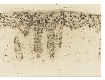 Immunohistochemistry (Formalin/PFA-fixed paraffin-embedded sections) - Anti-8-Hydroxy-2'-deoxyguanosine antibody [N45.1] (ab48508)
