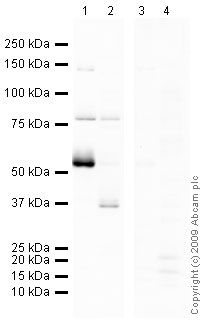 Western blot - Human ENT1 peptide (ab48606)