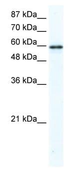 Western blot - Anti-G3BP antibody (ab48739)