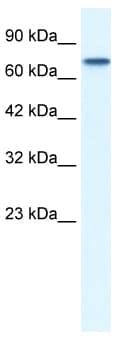 Western blot - Anti-NUR77 antibody (ab48789)