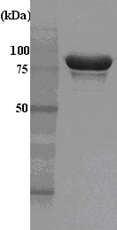 SDS-PAGE - Recombinant Human Hsp90 alpha protein (His tag) (ab48801)