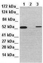 Western blot - Anti-PTRF antibody (ab48824)