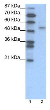 Western blot - Anti-FOXD2 antibody (ab49128)