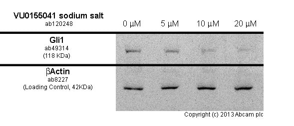 Western blot - Anti-Gli1 antibody (ab49314)