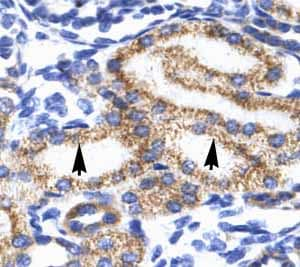 Immunohistochemistry (Formalin/PFA-fixed paraffin-embedded sections) - Anti-MEIS2 antibody (ab49346)