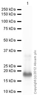 Western blot - Recombinant Human Midkine protein (ab49848)