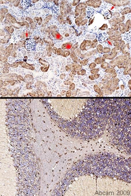 Immunohistochemistry (Formalin/PFA-fixed paraffin-embedded sections) - Anti-Glutamine Synthetase antibody (ab49873)