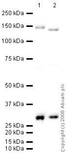 Western blot - Anti-Calbindin antibody (ab49899)