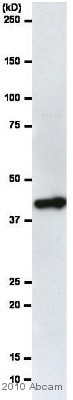 Western blot - HRP Anti-beta Actin antibody [AC-15] (ab49900)