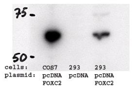 Western blot - Anti-FOXC2 antibody - ChIP Grade (ab5060)