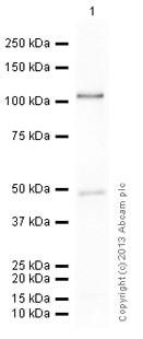 Western blot - Anti-Ago1 antibody (ab5070)