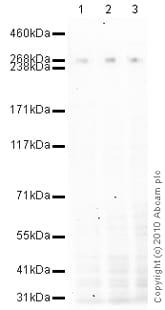 Western blot - Anti-CENPE antibody [1H12] (ab5093)