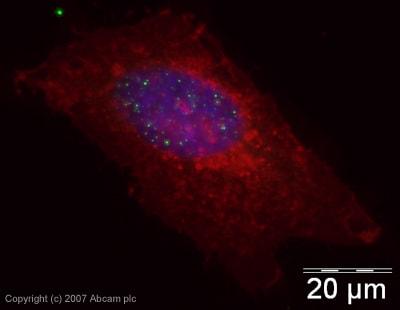 Immunocytochemistry/ Immunofluorescence - Anti-Histone H3 (citrulline R2 + R8 + R17) antibody - ChIP Grade (ab5103)