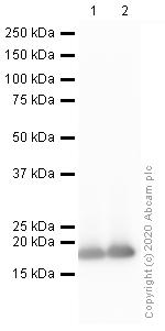 Western blot - Anti-Histone H3 (citrulline R2 + R8 + R17) antibody (ab5103)