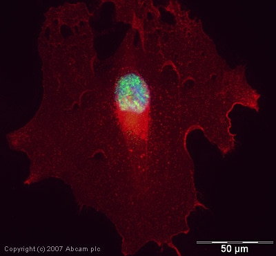 Immunocytochemistry/ Immunofluorescence - Anti-RNA polymerase II CTD repeat YSPTSPS (phospho S5) antibody - ChIP Grade (ab5131)