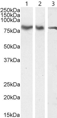 Western blot - Anti-ILF1 antibody (ab5298)