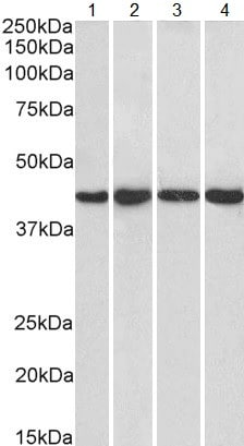 Western blot - Anti-NIPP1 antibody (ab5300)