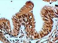 Immunohistochemistry (Formalin/PFA-fixed paraffin-embedded sections) - Anti-FbxL12 antibody (ab5305)