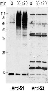 Western blot - Anti-Sumo 3 antibody (ab5317)