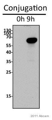 Western blot - Anti-Pdd1 antibody - ChIP Grade (ab5338)
