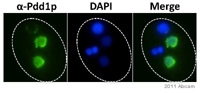 Immunocytochemistry/ Immunofluorescence - Anti-Pdd1 antibody - ChIP Grade (ab5338)