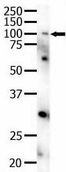 Western blot - Anti-Eph receptor A4 antibody (ab5389)
