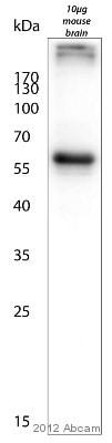 Western blot - Anti-MAP2 antibody (ab5392)
