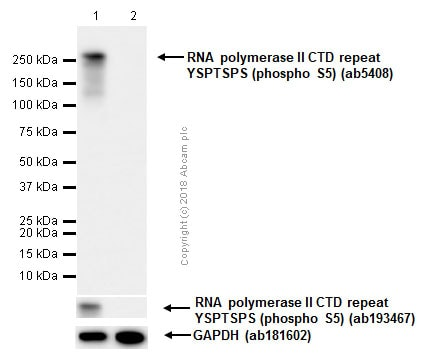 Western blot - Anti-RNA polymerase II CTD repeat YSPTSPS (phospho S5) antibody [4H8] - ChIP Grade (ab5408)