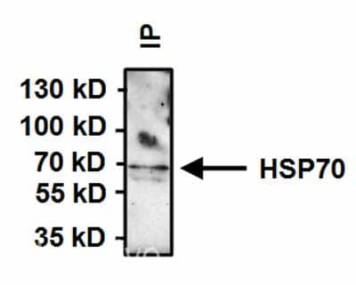Immunoprecipitation - Anti-Hsp70 antibody [2A4] (ab5442)