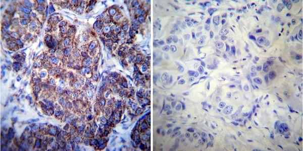 Immunocytochemistry - Anti-Hsp60 antibody [4B9/89] (ab5478)