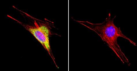Immunocytochemistry/ Immunofluorescence - Anti-Hsp60 antibody [4B9/89] (ab5478)