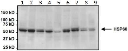 Western blot - Anti-Hsp60 antibody [2E1/53] (ab5479)