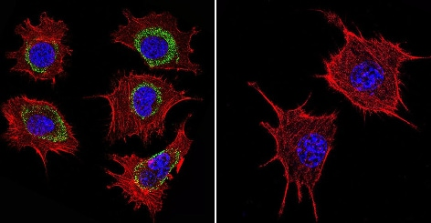 Immunocytochemistry/ Immunofluorescence - Anti-Hsp60 antibody [2E1/53] (ab5479)