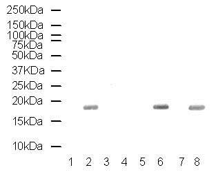 Western blot - Human Histone H3 (phospho S28) peptide (ab5499)