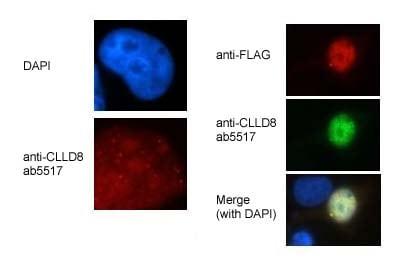 Immunocytochemistry/ Immunofluorescence - Anti-CLLD8/SETDB2 antibody (ab5517)