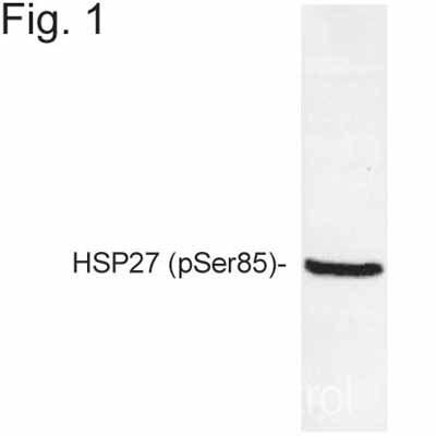 Western blot - Anti-Hsp27 (phospho S85) antibody (ab5594)