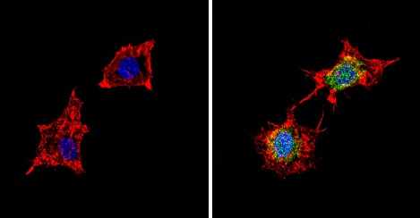 Immunocytochemistry/ Immunofluorescence - Anti-PDE6D antibody (ab5665)