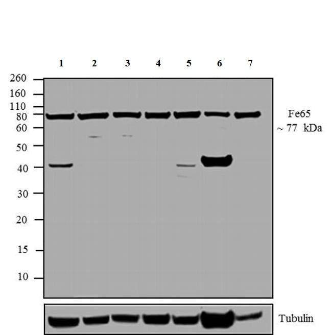 Western blot - Anti-FE65 antibody (ab5668)