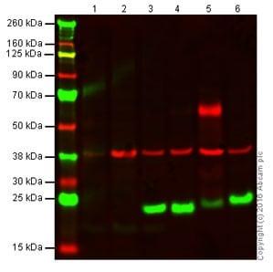 Western blot - Anti-CD3 antibody (ab5690)