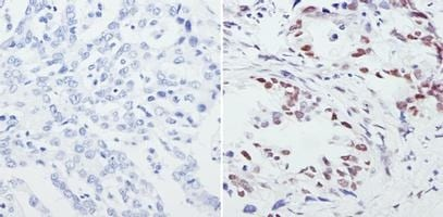 Immunohistochemistry (Formalin/PFA-fixed paraffin-embedded sections) - Anti-CREB + CREM antibody (ab5803)