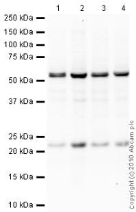Western blot - Anti-Y14 antibody [4C4] (ab5828)